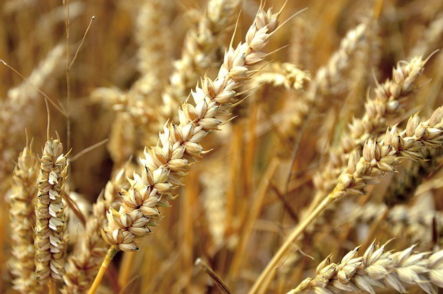 Diferencia entre cebada y trigo
