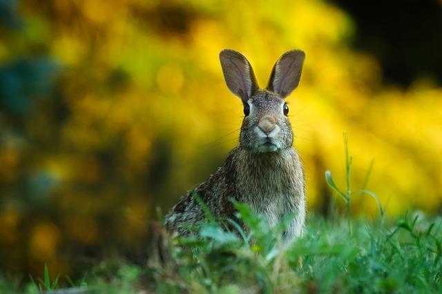 Diferencia entre conejo y liebre