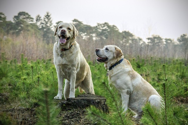 Diferencia entre Labrador Retriever y Golden Retriever