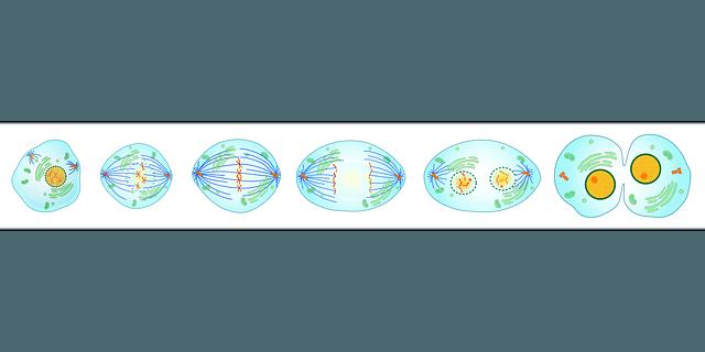 Diferencia entre Mitosis y Meiosis