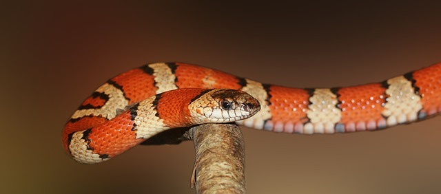 Diferencia entre Víbora y Serpiente