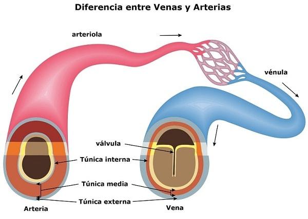 Diferencia entre Venas y Arterias